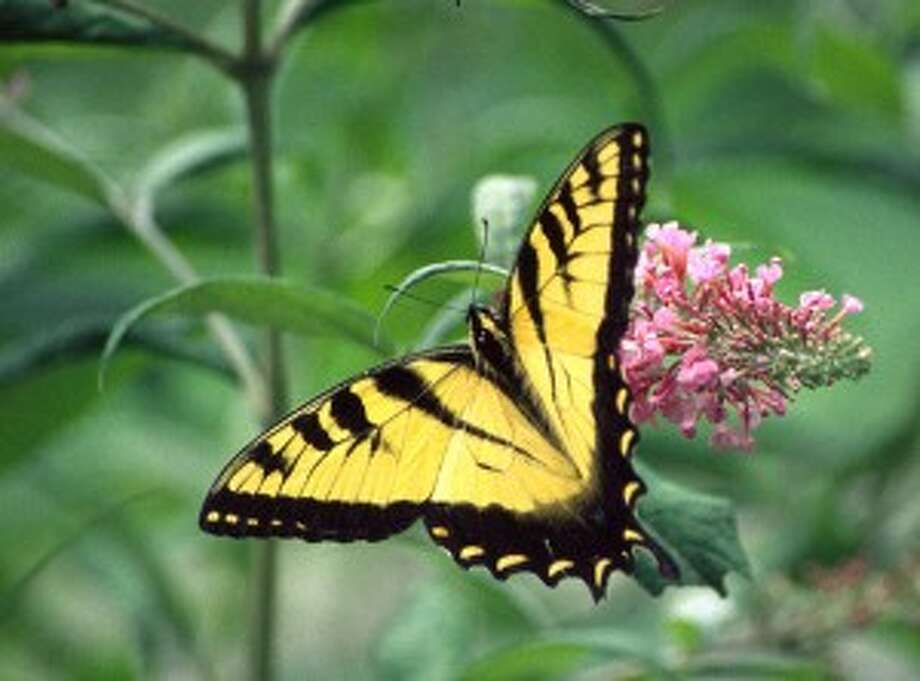Manos-Jones to speak at Connecticut Butterfly Association's fall meeting