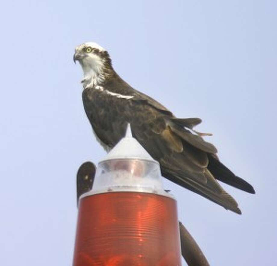 Counting Norwalk's active osprey nests