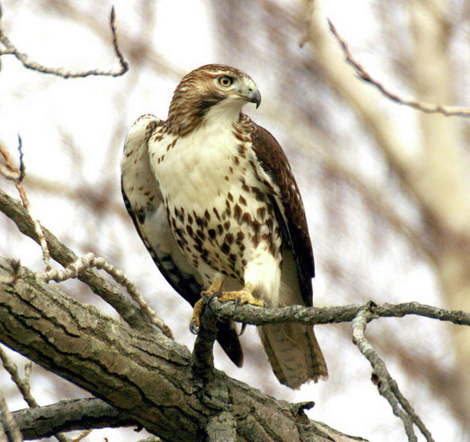 Photo by Chris BosakA Red-tailed Hawk perches at Andrew's Field in Norwalk this summer.
