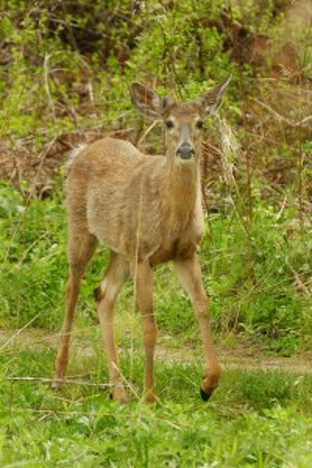 Earthtalk: Do we really need to control deer populations?