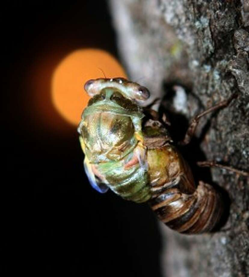 Photo of cicada emerging from casing