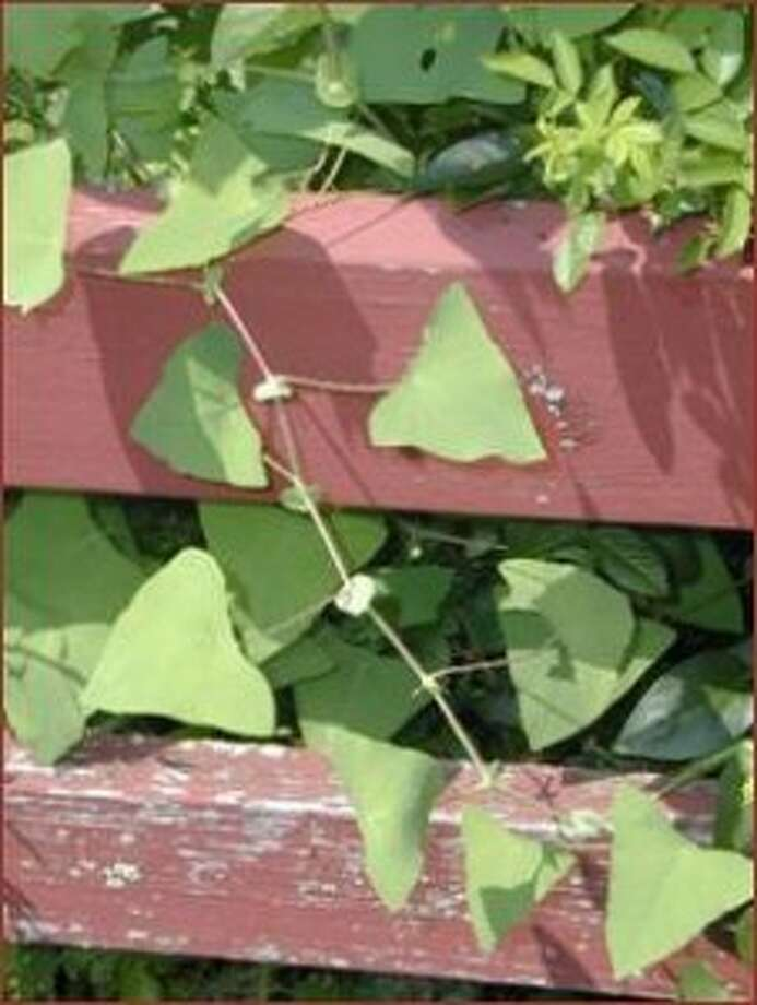 State asks public to report sightings of invasive Mile-A-Minute Vine as control efforts continue
