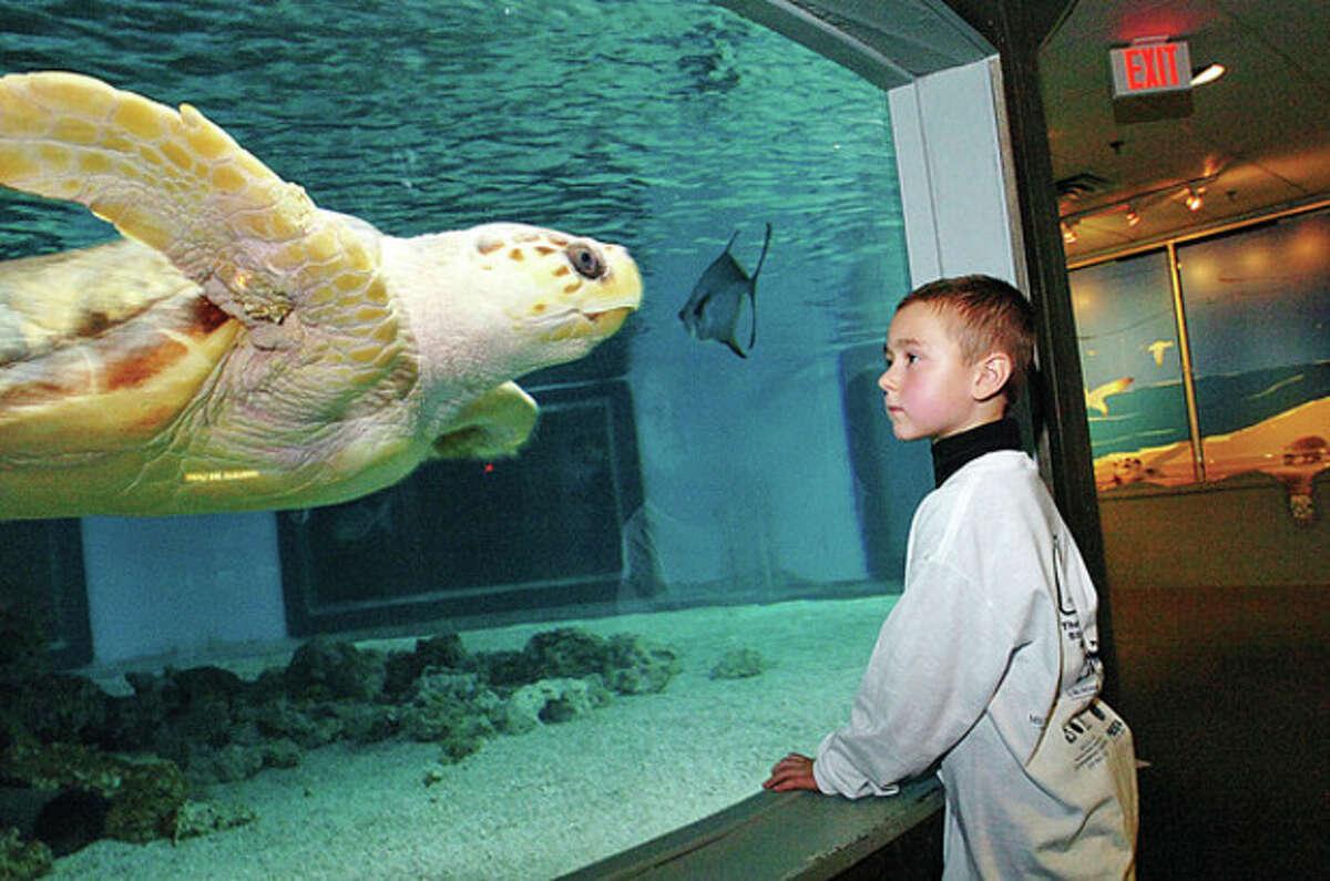Sasha Endes, 5, checks out the giant see turtles at the Maritime Aquarium during their Salute Norwalk Day Saturday where Norwalk residents like Sasha get in free. Hour photo / Erik Trautmann