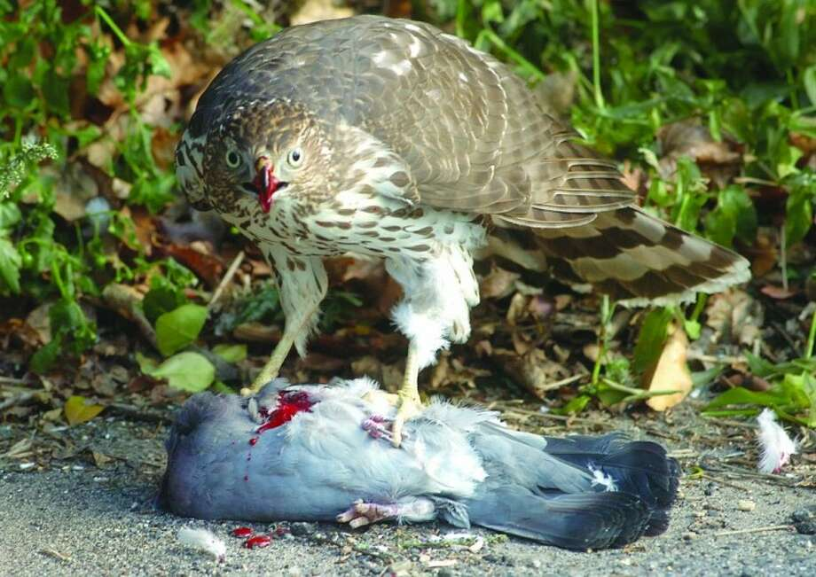 An incredible photo of a red-tailed hawk eating a pigeon