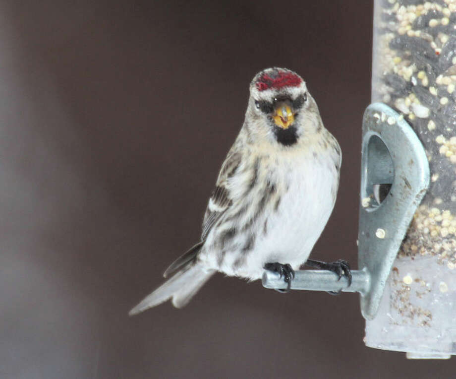 Common Redpoll at Cove Island Wildlife Sanctuary on Wednesday, Jan. 16, 2013. Photo by Chris Bosak