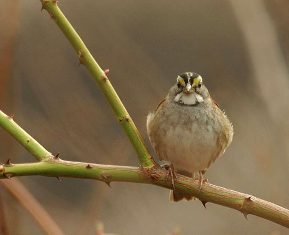 Photo by Chris Bosak White-throated sparrows were found during Sunday's annual Christmas Bird Count.