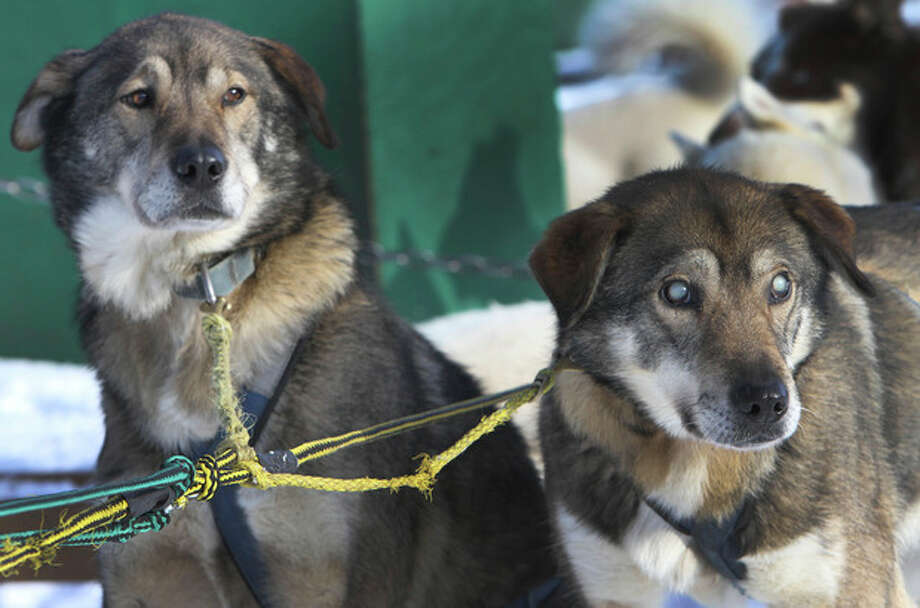 In this photo taken Thursday Jan. 17, 2013, sled dogs Poncho, left, and his blind brother Gonzo are hooked up for a run at the Muddy Paw Sled Dog Kennel, in Jefferson, N.H. Poncho has taken to helping his blind brother on regular runs. (AP Photo/Jim Cole) / AP