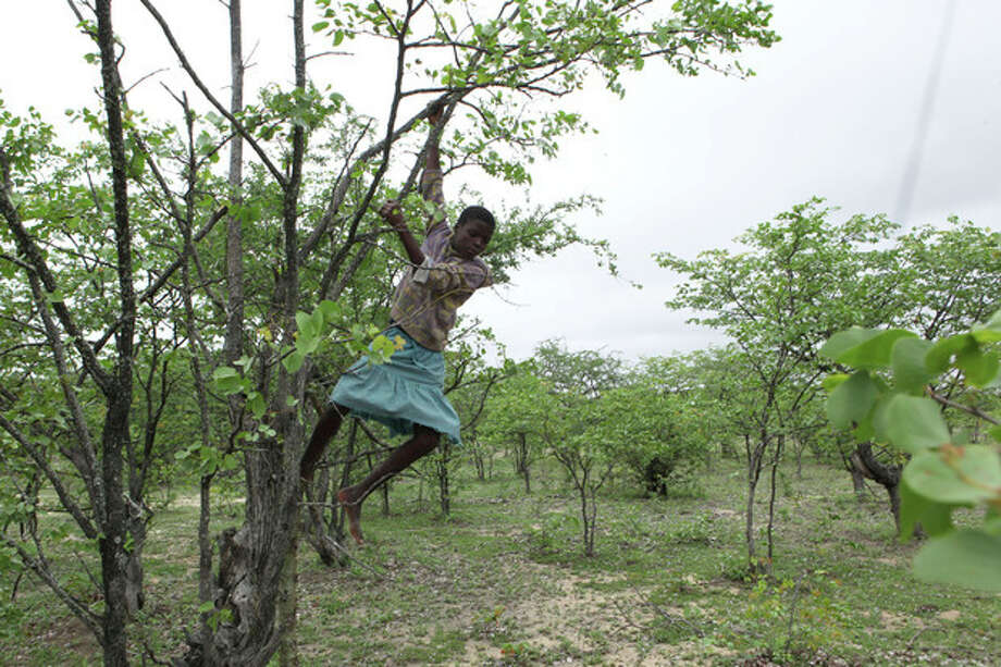 In this photo taken Sunday Jan. 16, 2013, Mpokuhle Ncube hangs from a Mopane tree in search of mopane worms for harvesting in Gwanda, Zimbabwe. In Zimbabwe as well as most parts of southern Africa, mopane worms are a staple part of the diet in rural areas and are considered a delicacy in the cities. They can be eaten dry, as crunchy as potato chips, or cooked and drenched in sauce. (AP Photo/Tsvangirayi Mukwazhi) / AP