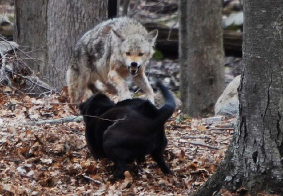 A coyote has a snarling encounter with a dog recently in a Buckingham Ridge Road yard. Contributed photo.