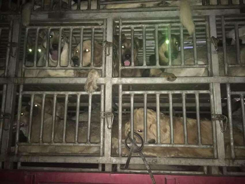 Thousands of dogs are slaughtered each year during the annual Yulin Dog Meat Festival in China.