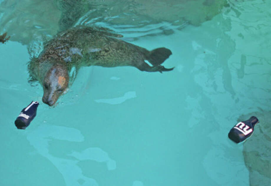 Contributed Photo Rasal, the harbor seal at The Maritime Aquarium at Norwalk, has made her Super Bowl XLVI pick.