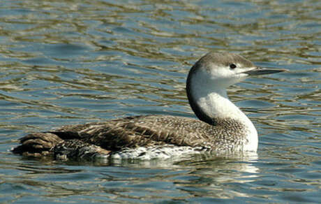 Red-throated loons were spotted in the vicinity of Hoyt Island and Village Creek. Up to 165 bird species frequent the area.