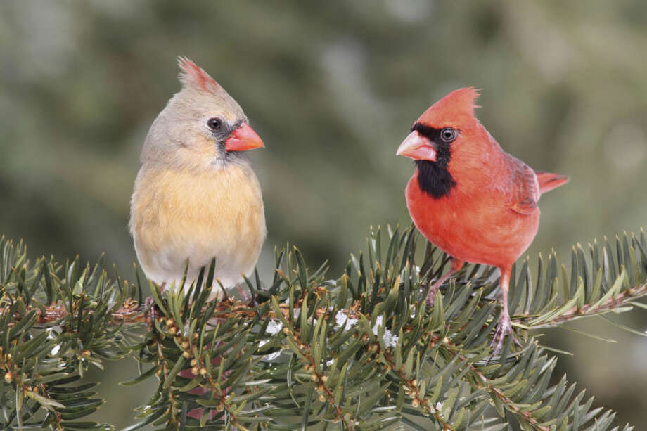 Pair of Northern Cardinals (cardinalis) on a branch with some snow and a green background