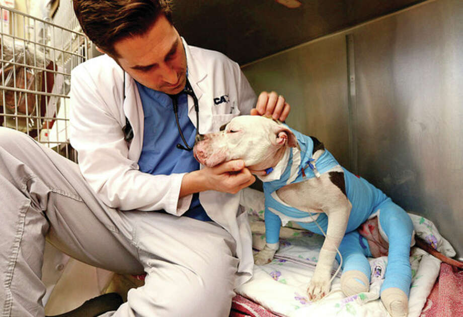 Hour photo / Erik TrautmannDr. John Anastasio of VCA Veterinary Referral and Emergency Center comforts Lucy, a 4-year-old bull terrier, who was burned in a fire at a home in Norwalk this past weekend. Lucy had been kept outside under a tarp with a space heater at the home when the tarp caught fire early Saturday morning, killing Lucy's two puppies. / (C)2012, The Hour Newspapers, all rights reserved