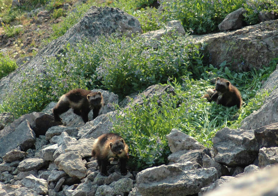 This July 2007 image provided by the Wildlife Conservation Society shows a female wolverine and her cubs taken in the Gravelly Range of southwest Montana. Wolverines need deep mountain snows to survive, but the government said Friday, Feb. 1, 2013, that anticipated warming temperatures in coming decades will shrink their habitat, putting the species in danger of extinction. (AP Photo/Wildlife conservation society, Mark Packila) / Wildlife Conservation Society