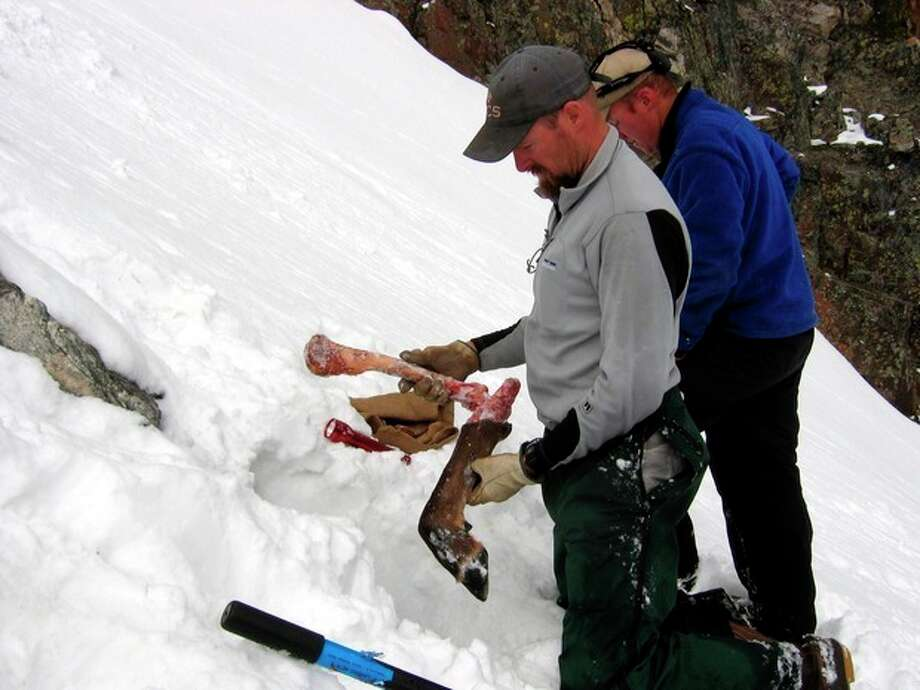 This 2007 image provided by the Wildlife Conservation Society shows Bob Inman with the Wildlife Conservation Society holding part of an elk leg found outside a wolverine den built into a snowfield in the Spanish Peaks mountain range in Montana, as fellow wildlife researcher Tony McCue looks on. Wolverines need deep mountain snows to survive, but the government said Friday, Feb. 1, 2013 that anticipated warming temperatures in coming decades will shrink their habitat, putting the species in danger of extinction. (AP Photo/Wildlife Conservation Society) / Wildlife Conservation Society