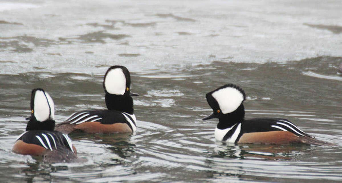 Hooded Mergansers at Mill Pond in Norwalk. Photo by Chris Bosak