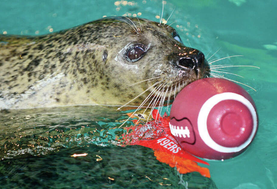 Hour photo / Erik Trautmann Orange the Harbor Seal will makes her Super Bowl pick by retrieving football representing the 49ers over the Ravens. / (C)2012, The Hour Newspapers, all rights reserved