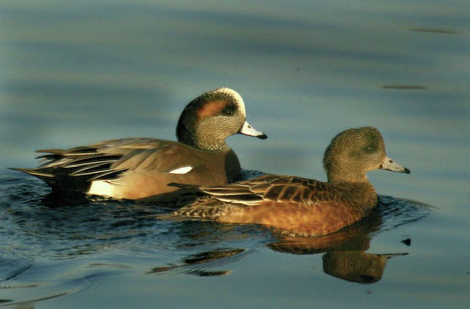 Photo by Chris Bosak American wigeon cross Holly Pond in Stamford this winter.