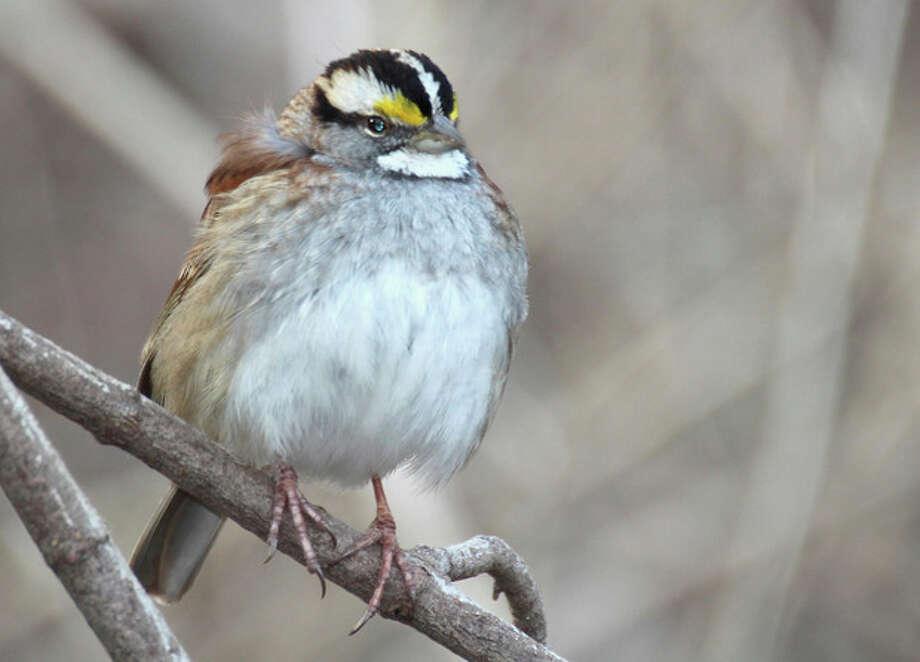 White-throated Sparrow, January 2013. Photo by Chris Bosak