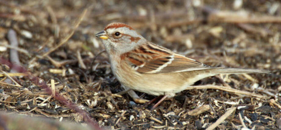 American Tree Sparrow, January 2013. Photo by Chris Bosak
