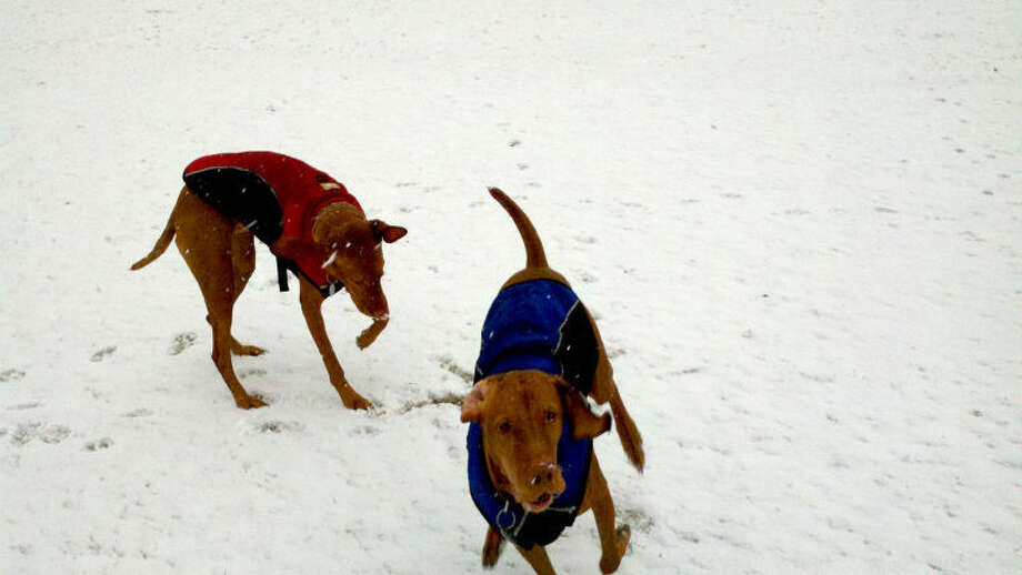 Dog Cali Vizsla & Sierra Vizsla play in Rowayton on Friday morning. Photo by David Popoff