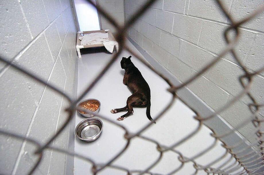 Hour Photo/ Alex von Kleydorff. Lotetta in her enclosure at Westport Animal Shelter / © 2012 The Hour Newspapers