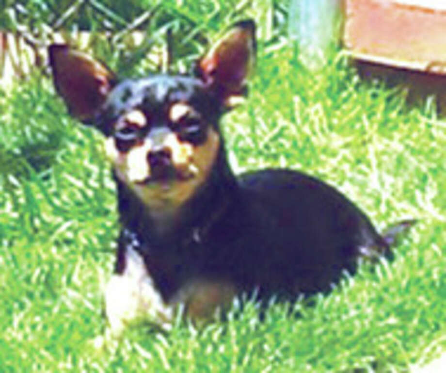 Contributed photo Balboa, a 6-year-old male Chihuahua, went missing in Stamford after chasing a raccoon.