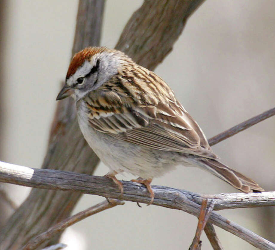Singling out New England's trilling birds