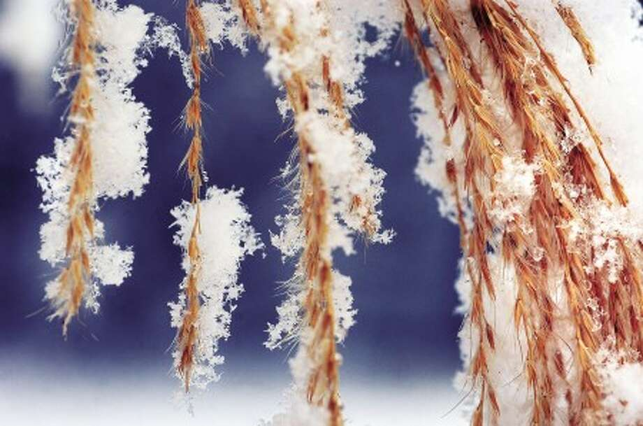 File photo/Alex von Kleydorff. Snowflakes cling to the leaves of some ornamental grass at Merwins Meadows park in Wilton.