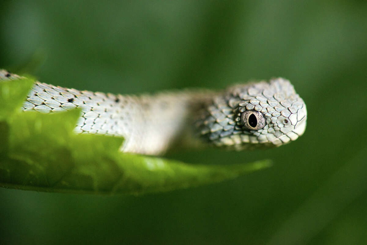 In late March, three tiny green bush vipers were born at the Houston Zoo, which released a series of photos of the trio on Tuesday. They are expected to grow to be between 18-24 inches long, the zoo says. The snakes are typically found in the tropical rainforests of western and central Africa and get their name from their preference for lower bushes rather than the tall canopy trees like some other snakes. For now these snakes will reside behind the scenes at the Houston Zoo's Reptile and Amphibian House but they could be on public display sometime in the future.