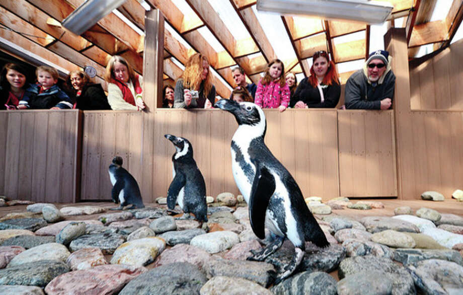 "The African penguins, which are on loan from the Leo Zoological Conservation Center in Greenwich, are back for a celebratory two-month encore exhibit at The Maritime Aquarium. The ""African Penguins"" exhibit will be open from Valentine's Day through spring break.Hour photo / Erik Trautmann / (C)2012, The Hour Newspapers, all rights reserved"