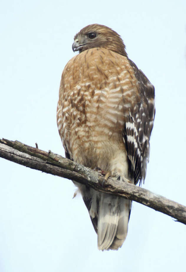 Photo by Chris BosakRed-shouldered Hawk, Darien, CT, Feb. 2013