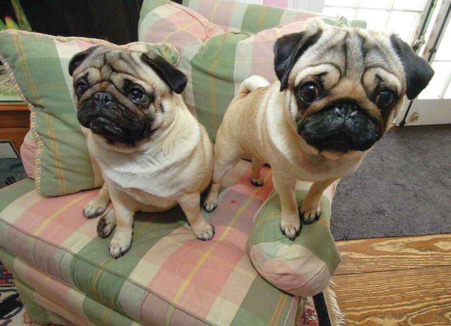 Hour photo / Alex von KleydorffThree-year-old Pug Chloe (right) and littermate Buster. Chloe was a winner at Westminster Kennel Club Dog Show in New York. / 2013 The Hour Newspapers