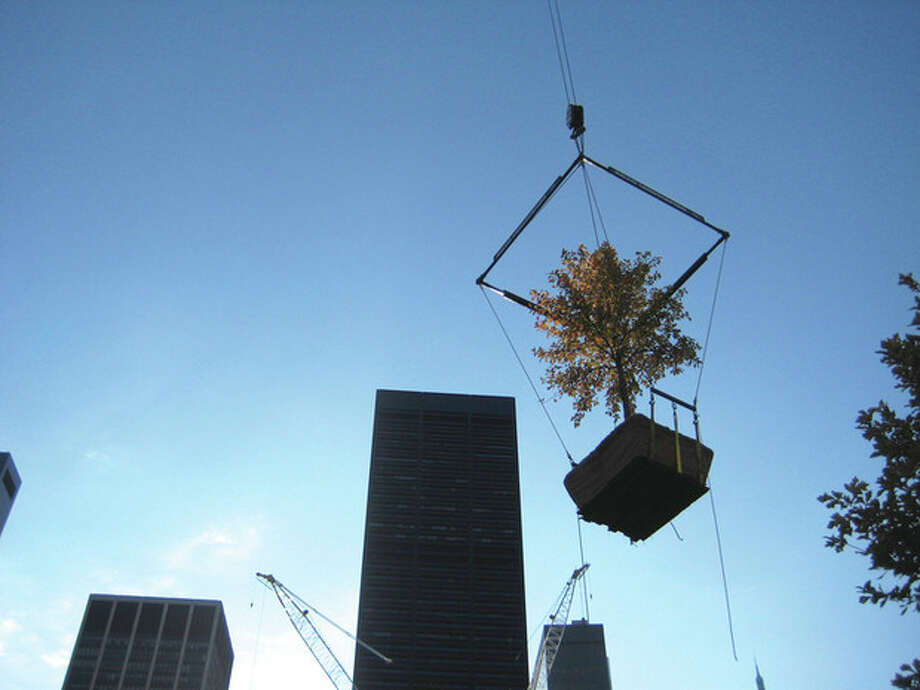 Contributed photoA swamp white oak tree is put in place at the site of the 9/11 Memorial in lower Manhattan.