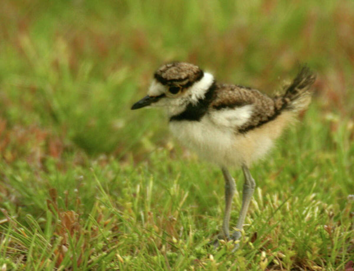 Photo by Chris Bosak Killdeer chick in Darien cemetery this week.