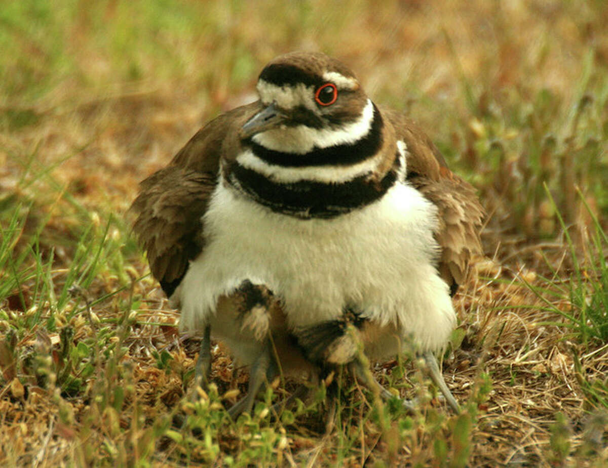 Photo by Chris Bosak A killdeer mother hides her three chicks in a cemetery in Darien this week.