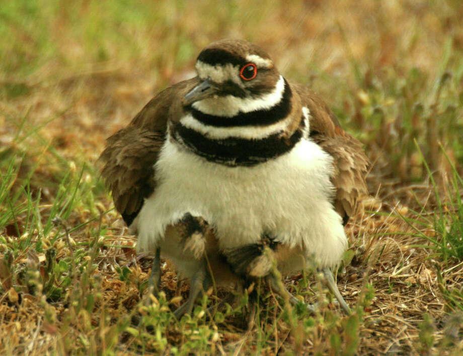 Photo by Chris BosakA killdeer mother hides her three chicks in a cemetery in Darien this week.