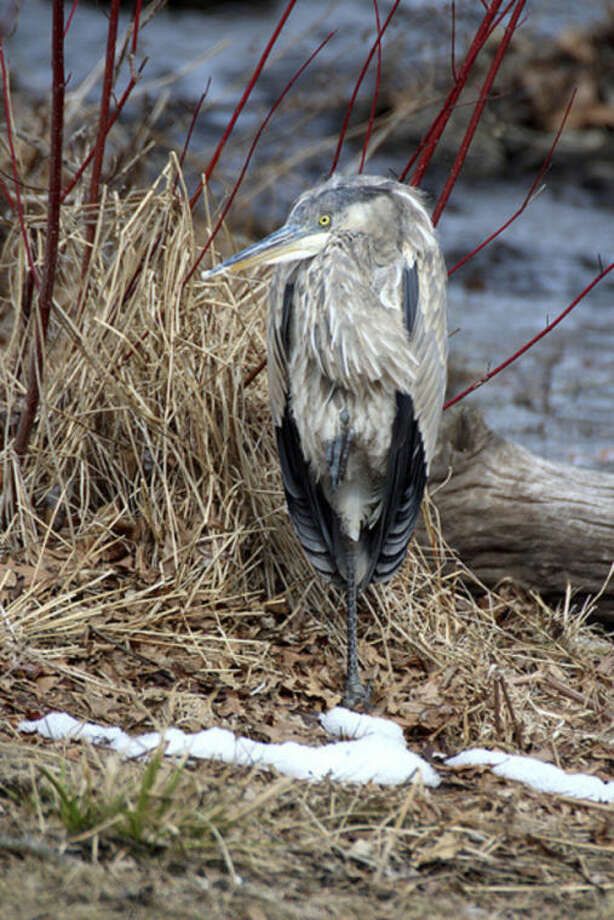 Photo by Chris BosakA Great Blue Heron sits by the edge of a river in Fairfield last week.
