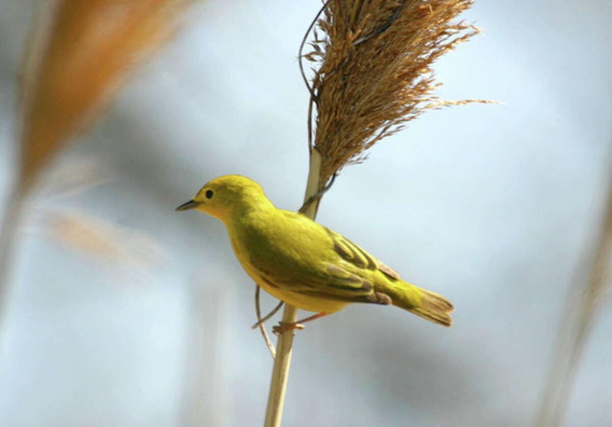 Photo by Chris Bosak Yellow warbler