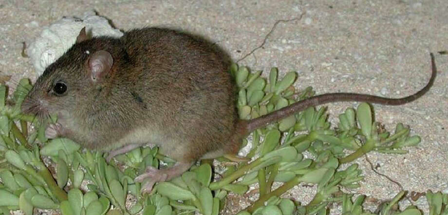 Australian researchers say rising sea levels have wiped out the Bramble Cay melomys, a rodent that lived on a tiny outcrop in the Great Barrier Reef. Photo: Creative Commons