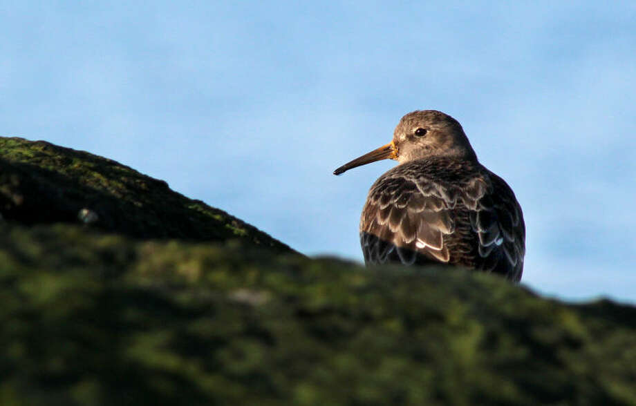 Photo by Chris Bosak A Purple Sandpiper off the coast of Darien, Ct., Feb. 25, 2013.