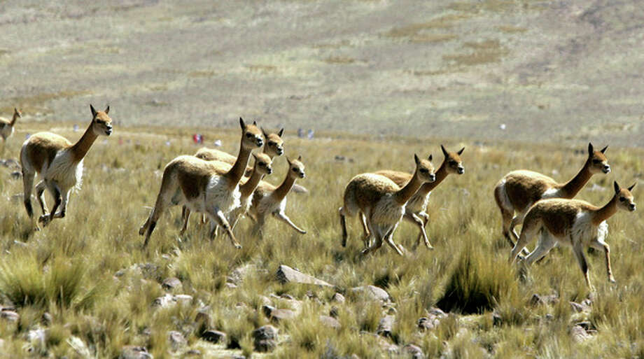 FILE - In this June 24, 2006 file photo, Peruvian highland protected vicunas run on an Andean plain near Ayacucho, 205 miles (330 kilometers) southeast of Lima, Peru. Elephants, rhinos, sharks and manta rays are among the animals that could be getting more international protection at the triennial meeting of the Convention on International Trade in Endangered Species of Wild Fauna and Flora. The CITES meeting agreed to a proposal from Ecuador to ease controls on its national population of vicuna, an animal native to the Andes and a relative of the llama. (AP Photo/Martin Mejia, File) / AP