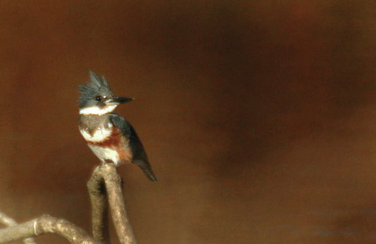 Belted kingfisher in Norwalk. By CHRIS BOSAK