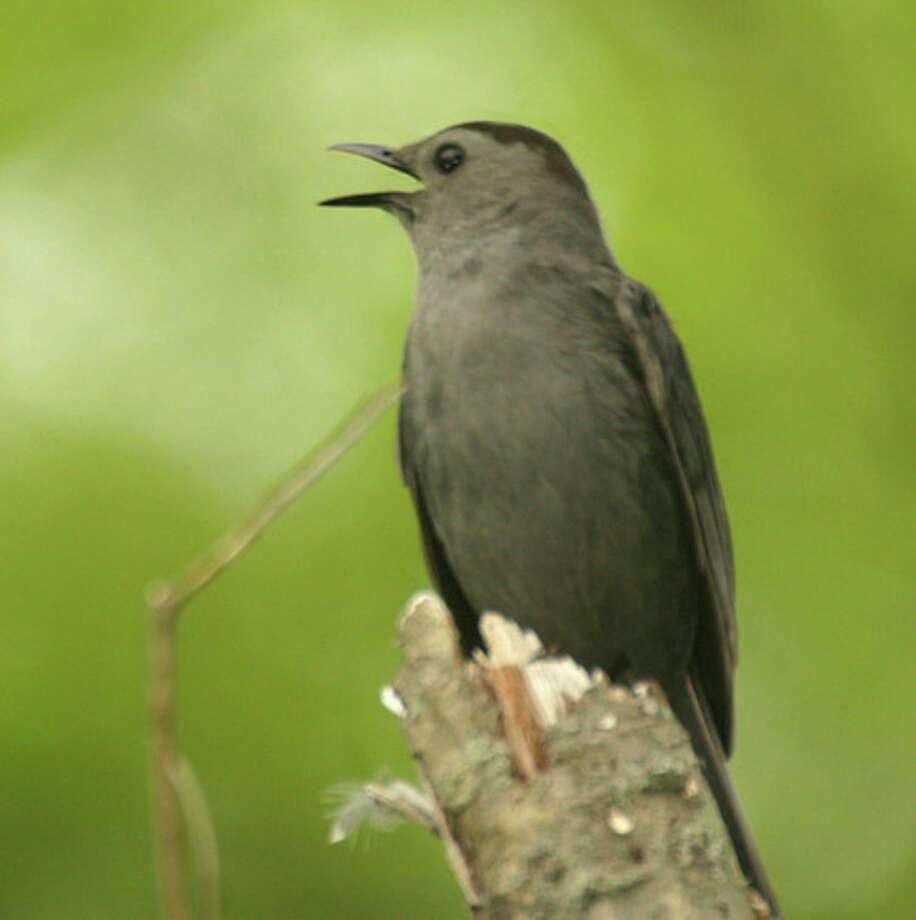 Catbird in New England. Photo by Chris Bosak