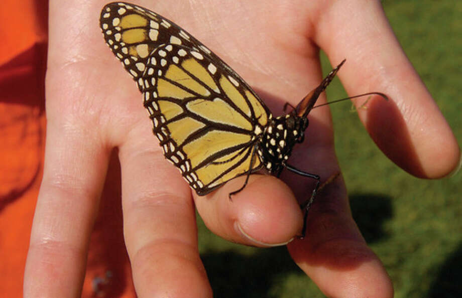 Monarch butterflies were released during the opening ceremonies of The 2011 Connecticut Challenge Bike Ride at Fairfield County Hunt Club in Westport Saturday. / (C)2011, The Hour Newspapers, all rights reserved