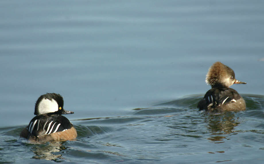 Photo by Chris Bosak Hooded mergansers are a duck commonly seen in Fairfield County during fall, winter and spring.
