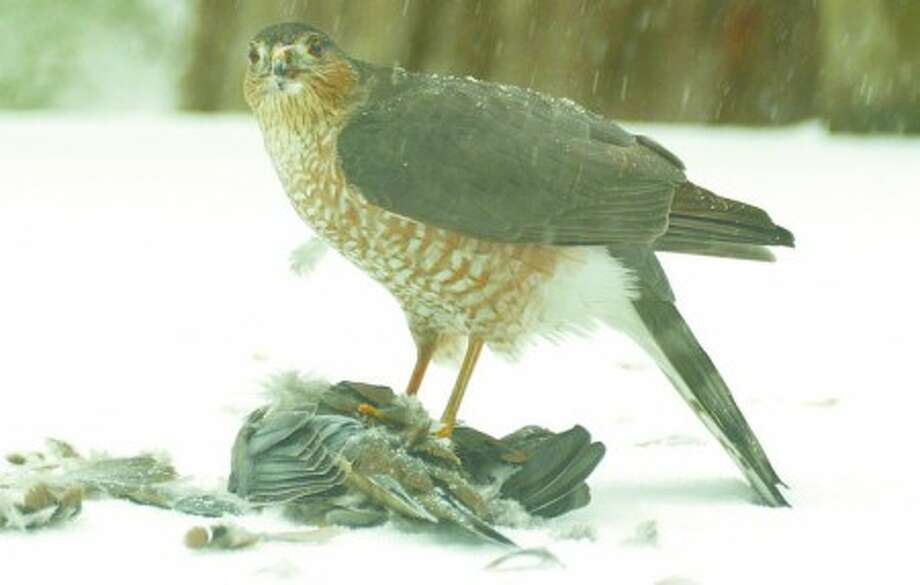 Photo by CHRIS BOSAK A Cooper''s hawk preys upon a mourning dove during a recent snowstorm.