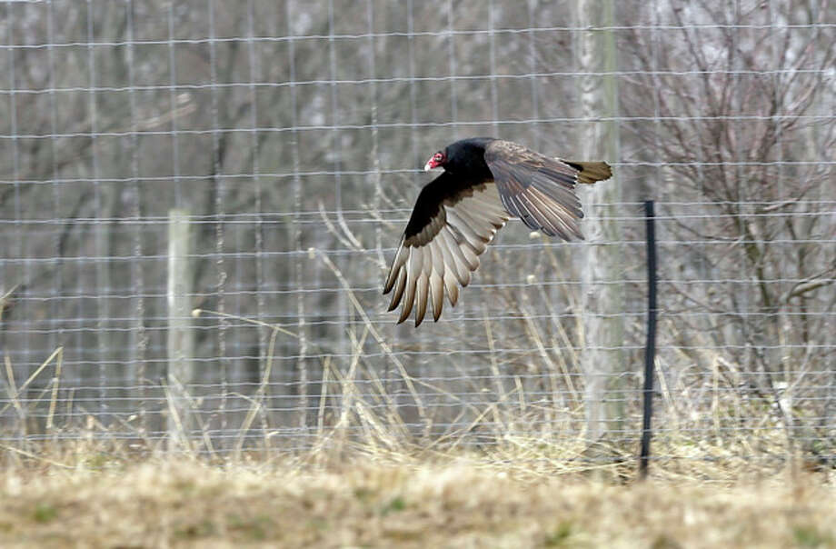 A Turkey Buzzard flies along a farm field in West Amwell, N.J., Monday, March 11, 2013. Large numbers of buzzards have been roosting in neighborhoods recently causing complaints. In Bridgewater Monday, wildlife officers hoisted a vulture's carcass into a tree in a tried-and-true method of driving away flocks of damaging buzzards. (AP Photo/Mel Evans) / AP