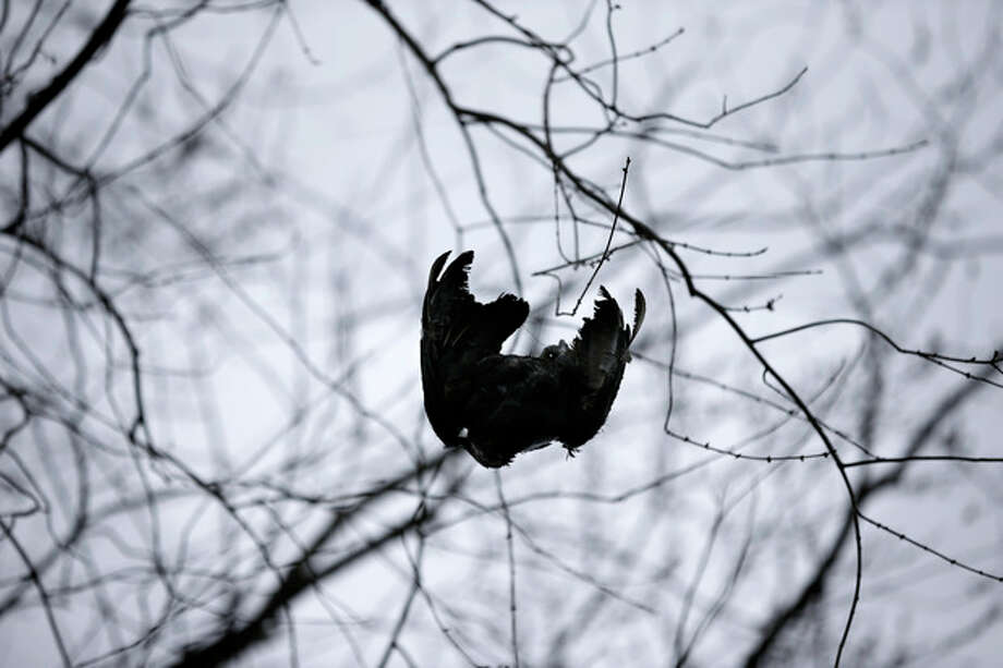 A black vulture carcass is hoisted up in a tree in Bridgewater, N.J., Monday, March 11, 2013, by United States Department of Agriculture Wildlife workers in a tried-and-true method of driving away flocks of damaging buzzards. (AP Photo/Mel Evans) / AP